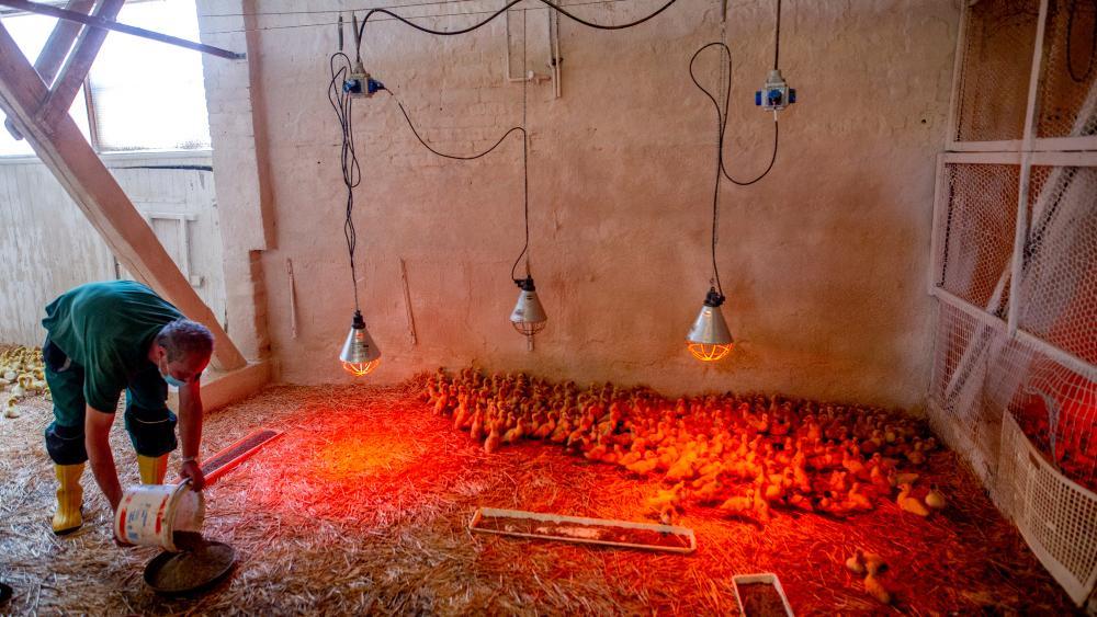 In einem großen Stall laufen viele Küken unter Wärmelampen umher. Ein Mann kippt Futter in eine Schale.