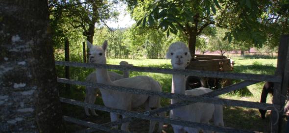 Zwei Alpakas stehen auf einer eingezäunten Weide.